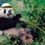 Sorpresa por hallazgo de oso panda en La Tebaida