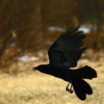 Tristeza por extinción total del pájaro Uyuyuy
