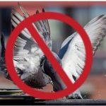 Gobierno habría pedido a canales abstenerse de emitir imágenes violentas de palomas