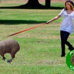 Lanzan «Ponte chigüi», programa para poner de moda adopción de chigüiros