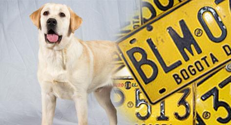 desde octubre comenzará la medida de pico y placa para los perros bogotanos