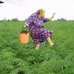 Consumir marihuana previene raptos de alienígenas, revela estudio