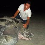 Tortuga laúd tuvo que pagar vacuna para anidar en playa de Santa Marta
